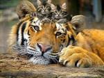 Кот с Тигром