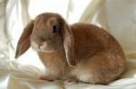 Кролик примиритель