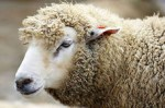 Дракон с Овцой