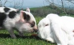 Кролик и Свинья