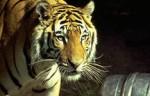 Обезьяна с Тигром