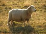 Обезьяна с Овцой