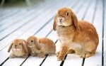 Кролик в семье