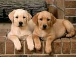Собаки супруги