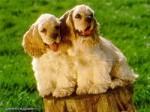 Собака с Собакой