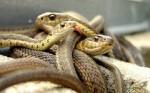 Змея в Семье